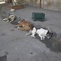 Photos: 野良犬のお昼寝