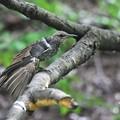 ヒヨドリ幼鳥?
