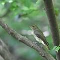 キビタキ幼鳥4