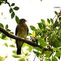写真: オオルリ幼鳥