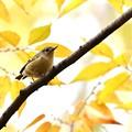 写真: 黄葉キクイタダキ