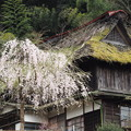 写真: 奥多摩の春~茅葺きの廃屋