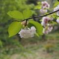 写真: まだまだ桜~福禄寿