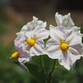 写真: 馬鈴薯の花