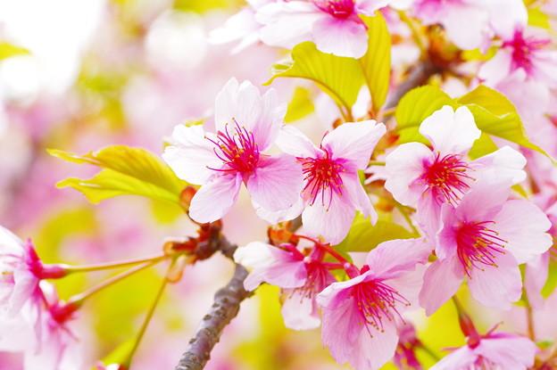 桜、翅伸ばして。(CI:ポップチューン)