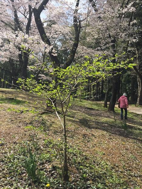 写真: 花見(桜)
