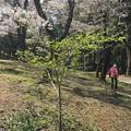 花見(桜)