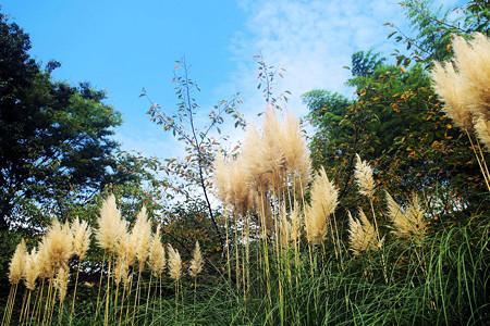 pampas_ grass