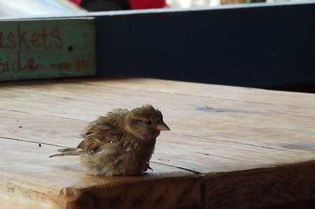 ハレイワ・小鳥0621