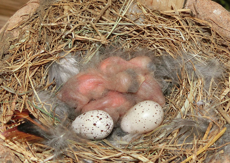 ツバメ 孵化